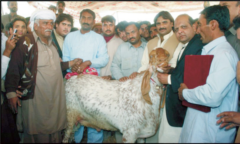 Heaviest Goat in Pakistan 2007